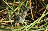 Striated Heron in Reeds