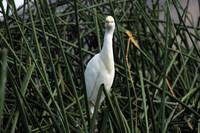 Snowy Egret Looking Straight Ahead
