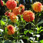 """Dahlia Garden"" by vpicks"