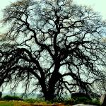 """Century Oak"" by photobud606"