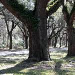 """""""Lively Live Oaks"""" by Groecar"""