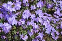 Lavender Rhododendrons