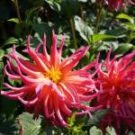 """Dahlias Garden Fine Art Prints Gifts Flowers"" by BasleeTroutman"