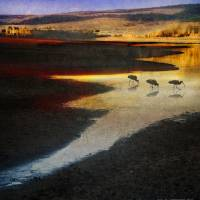 """ibis at lakes edge"" by R Christopher Vest"