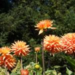 """Orange Dahlia Flowers Art Prints Gifts"" by BasleeTroutman"