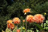 Orange Dahlia Flowers Art Prints Gifts