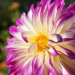 """White Purple Dahlia Flowers Fine Art Prints Gifts"" by BasleeTroutman"
