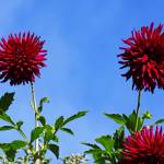 """Blue Sky Dahlia Flower Fine Art Prints Gifts"" by BasleeTroutman"