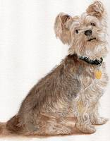 Filo the Yorkshire Terrier