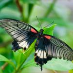 """Papilio lowifl"" by anthonyguinness"