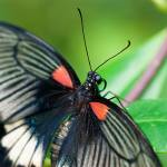 """Papilio lowi IIIfl"" by anthonyguinness"