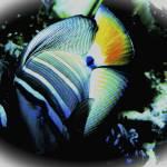 """AtlanticAngelFish"" by frankreggio"