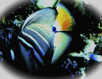AtlanticAngelFish