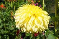 Dahlia Flower Art Prints Gifts Yellow Dahlias
