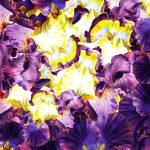 """Iris Petals Abstract Painting"" by IrinaSztukowski"