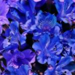"""Blue And Purple Flowers"" by SplitWindow"