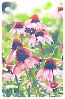 Purple Cone Flowers