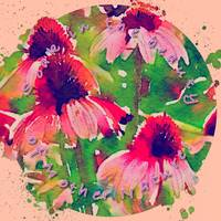 Pink Coneflowers w Pink Border