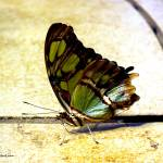 """""""Malachite Butterfly"""" by Kimmary"""