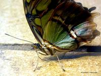 Malachite Butterfly 2