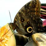 """""""Owl Eye Butterfly"""" by Kimmary"""