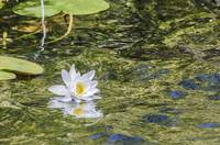 Waterlily reflection