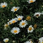 """""""Daisies in a Garden"""" by rhamm"""