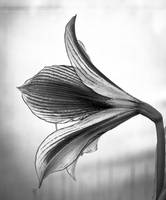 Flower Profile in b&w