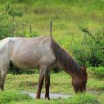 """Light Brown Horse on a Farm"" by rhamm"
