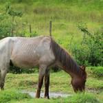 """Light Brown Horse on a Farm"" by rhamm"