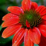 """""""Tangerine Coneflower  WM DSC_0580"""" by TaylorMadeVisions"""