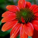 """""""Tangerine Coneflower  WM DSC_0580"""" by TaylorMadeArt.US"""