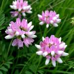 """""""Crown Vetch along the highway  DSC_1039"""" by TaylorMadeVisions"""