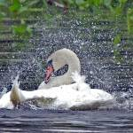 """Splish Splash the Swan at Bath"" by shelshots"