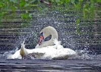 Splish Splash the Swan at Bath