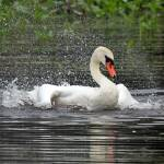 """Mute Swan Bathing"" by shelshots"