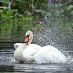 """""""Mute Swan"""" by shelshots"""