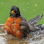 """Robin Bathing"" by shelshots"
