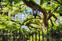 Charleston Live Oak Tree
