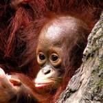 """""""Singapore zoo orang utan"""" by prajuvikas"""