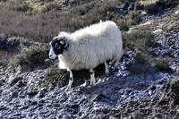 Lone Sheep In The Frozen Moors