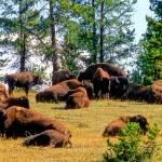 """Buffalo Roam Free"" by JoaoPonces"