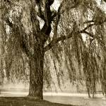 """WEEPING WILLOW MIST"" by PhotographsByCarolFAustin"