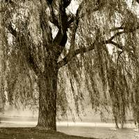 WEEPING WILLOW MIST Art Prints & Posters by Carol F Austin