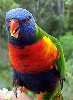 Beautiful Australian Parrot