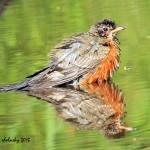 """Robin Reflecting"" by shelshots"