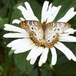 """Tan and White Butterfly"" by steveondrusphotography"