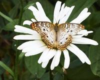 Tan and White Butterfly