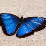 """Blue Butterfly"" by steveondrusphotography"