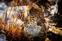 Amur Leopard Beauty